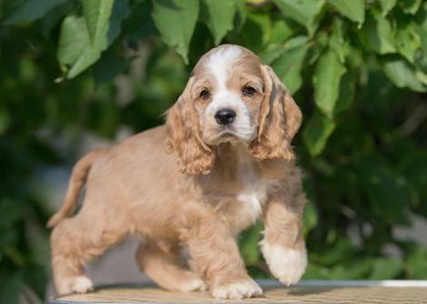Дрессировка щенка американского кокер спаниеля по месяцам