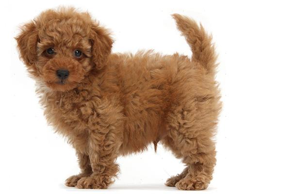 Дрессировка щенка пуделя по месяцам